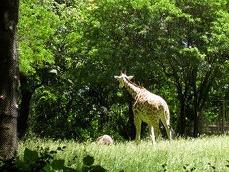Giraffe Bronx Zoo