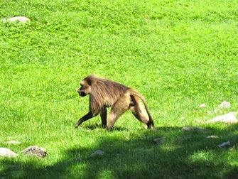 Singe Bronx Zoo